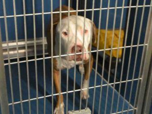 Pin By Lynna Strom On R I P We Loved You No Kill Animal Shelter Pitbulls Animal Shelter