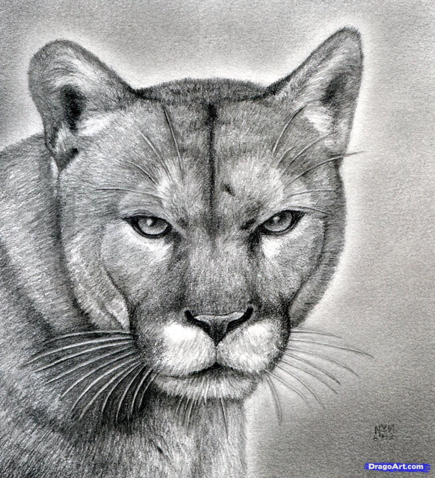 How To Draw A Realistic Puma Mountain Lion By Finalprodigy Lion