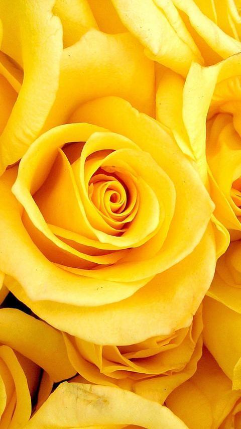 The language of flowers yellow rose broken heart ideas for the the language of flowers yellow rose broken heart ideas for the house pinterest gardenias jasmine and yellow roses mightylinksfo