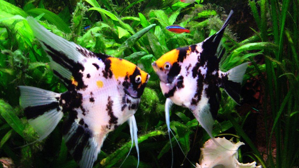 Image gallery tropical angelfish for Fish compatible with angelfish