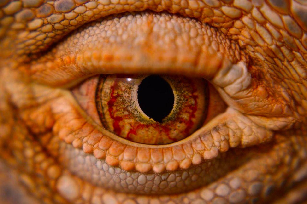 253182 (With images) Lizard eye, Lizard, Eyes