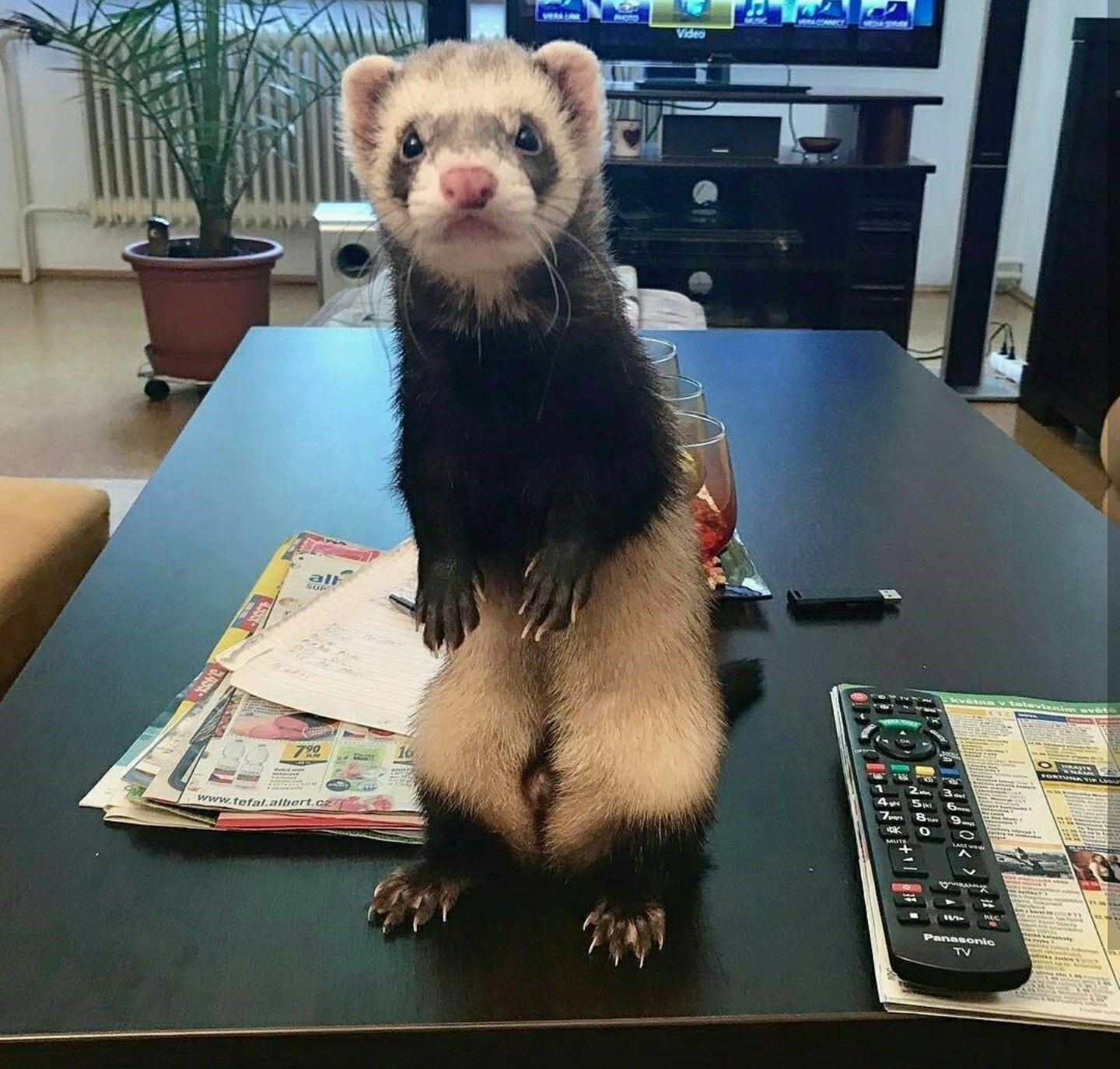 Such a cute little ferret! Never seen an ugly one, they are so adorable! I  love my baby to pieces!