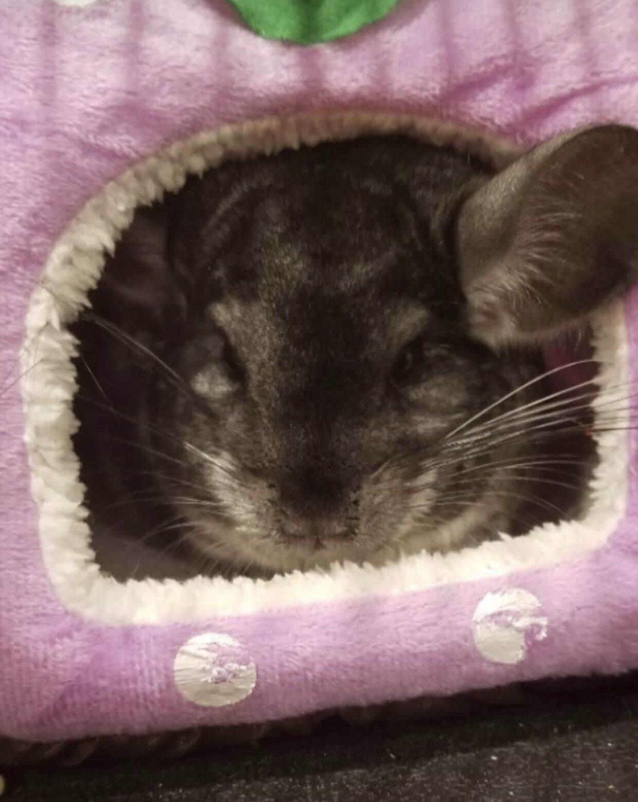 Pepper The Chinchilla Hanging In Her Favorite Bed From Igotrats