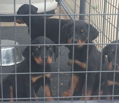 Litter Of 5 Rottweiler Puppies For Sale In Fayetteville Nc Adn