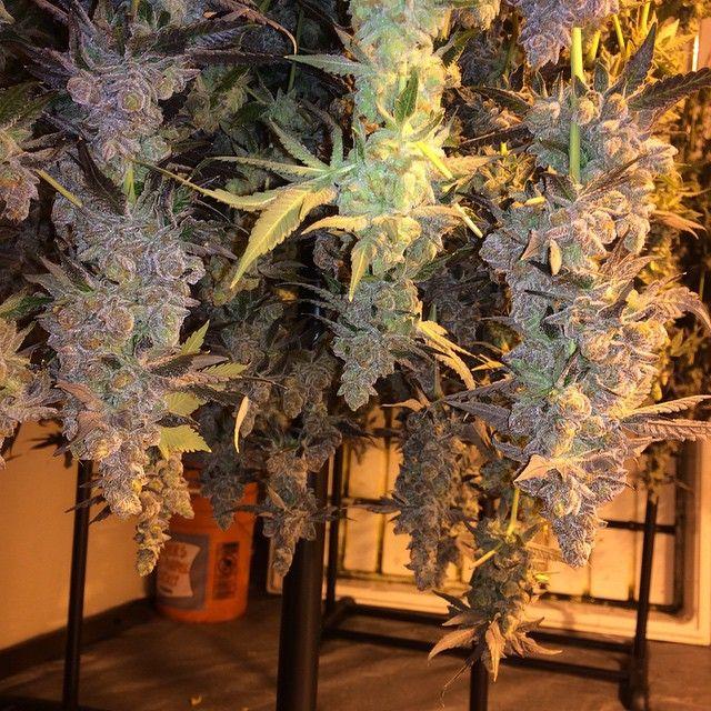 WeedPornDaily