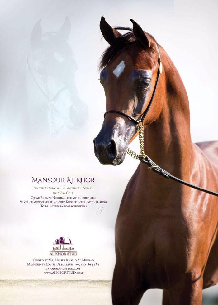 منصور الخور في البطولة الدولية في قطر Foals National Champions Horses