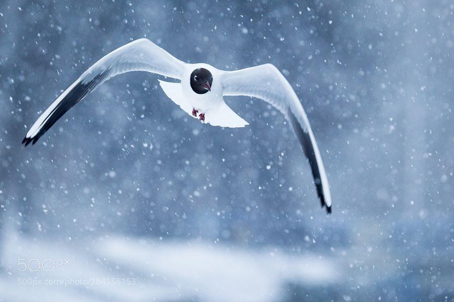 Gull by RobertAdamec via http://ift.tt/2ggHG25