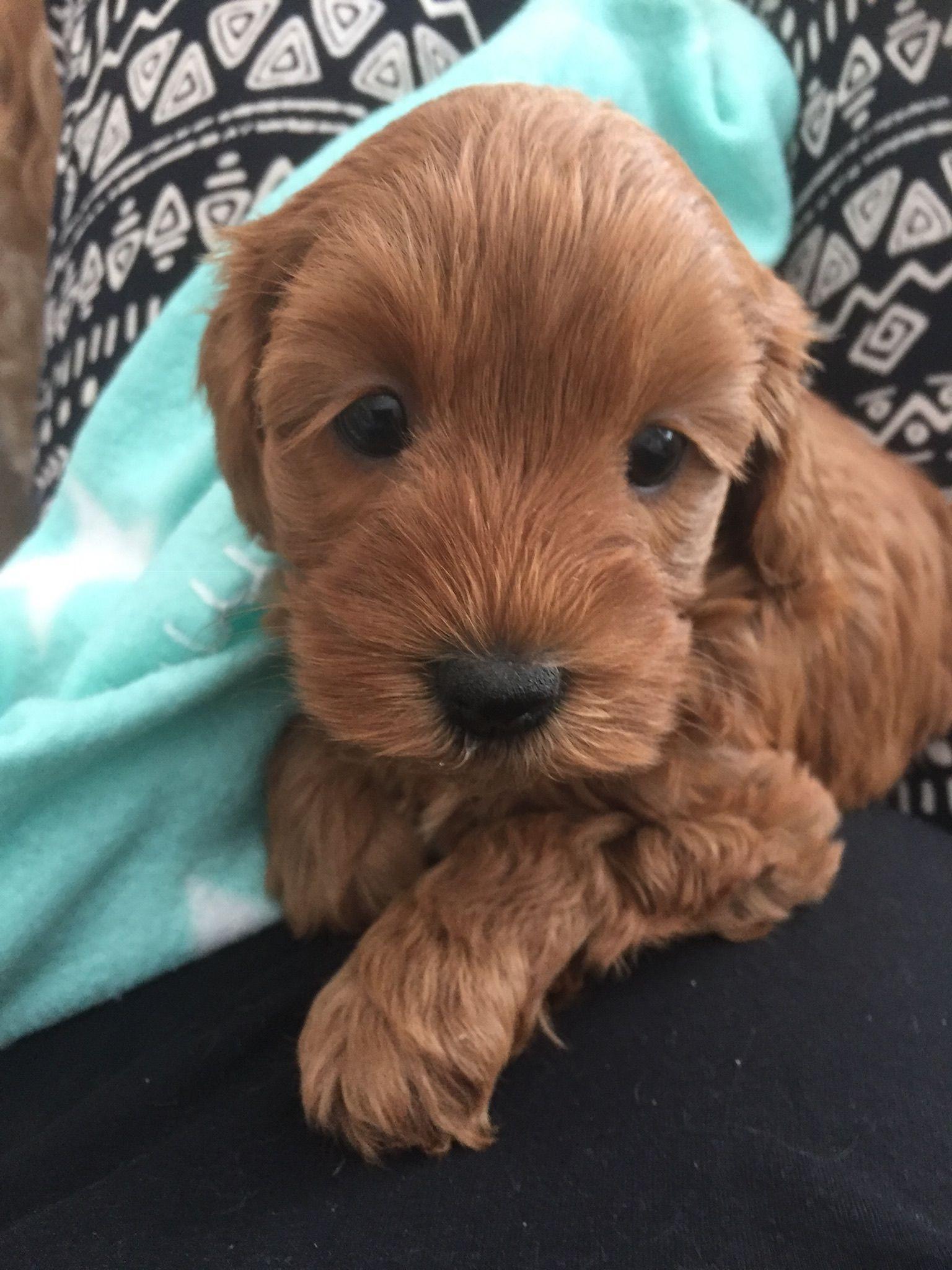 My Mishkah 8 Weeks Old 2019 Pets Golden Retriever Animals
