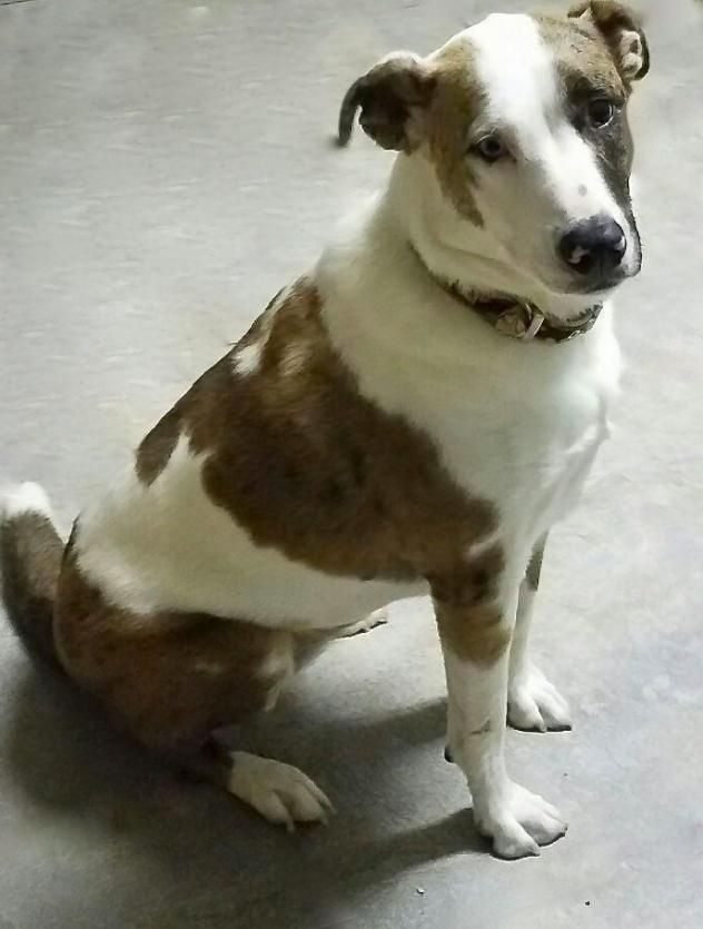 Adopt Jenny Paws on Catahoula leopard dog mix, Dog