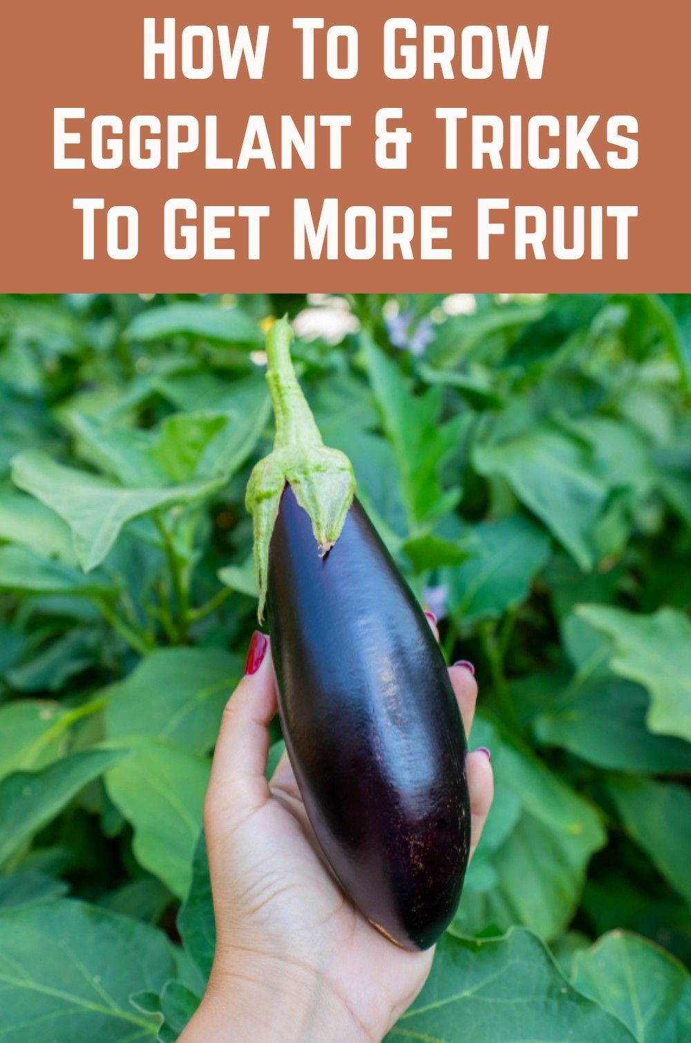 How To Grow Eggplant And Tricks To Get More Fruit In 2020 Tomato Container Gardening Eggplant Plant Growing Eggplant