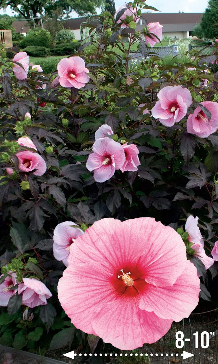 Summerific Summer Storm Shows Off Her Pink Flowers With Darker