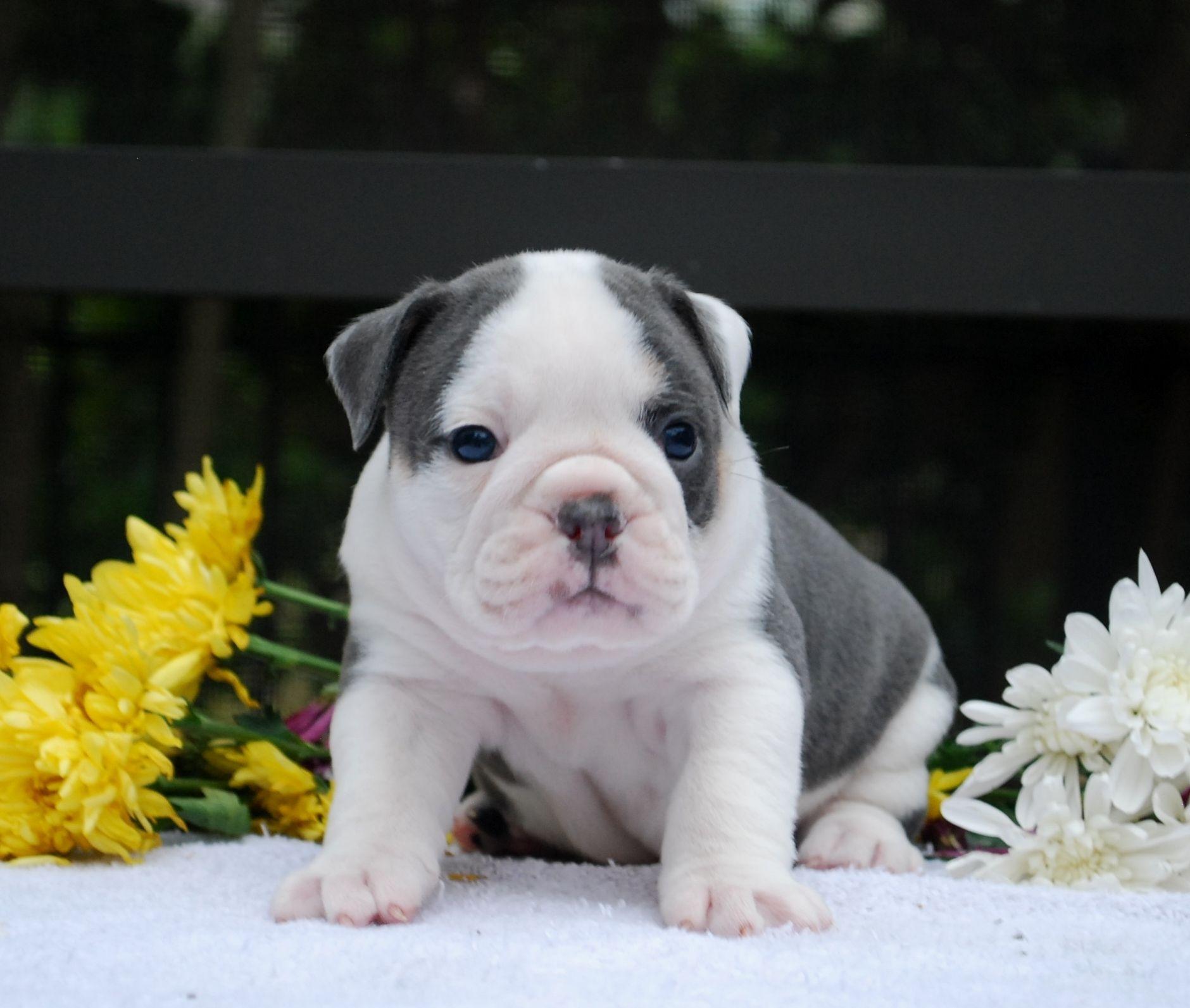 English Bulldog Puppies In Naples Florida Dog English