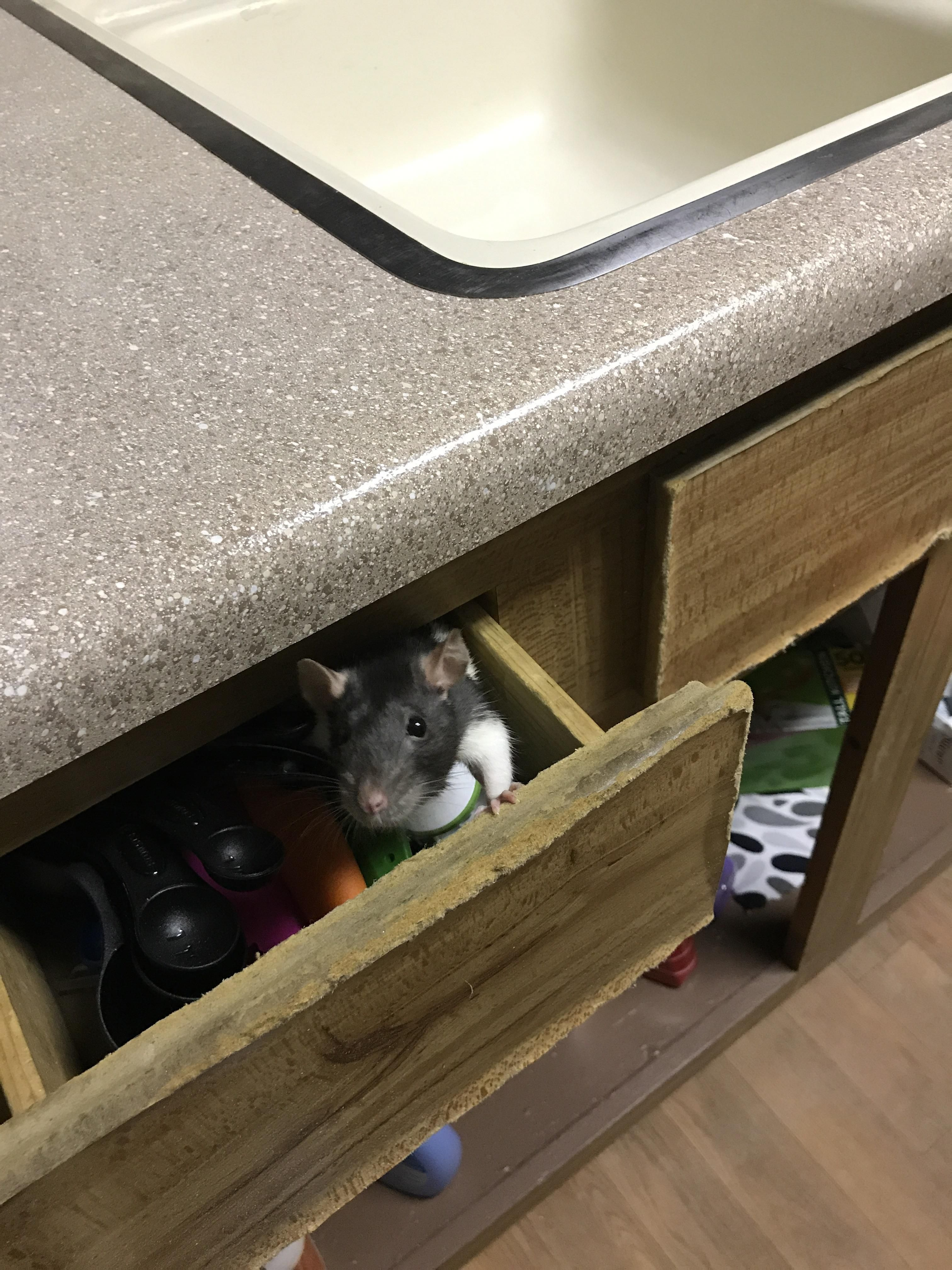 She likes to climb into the drawers in the kitchen #aww #cute #rat #cuterats #ratsofpinterest #cuddle #fluffy #animals #pets #bestfriend #ittssofluffy #boopthesnoot