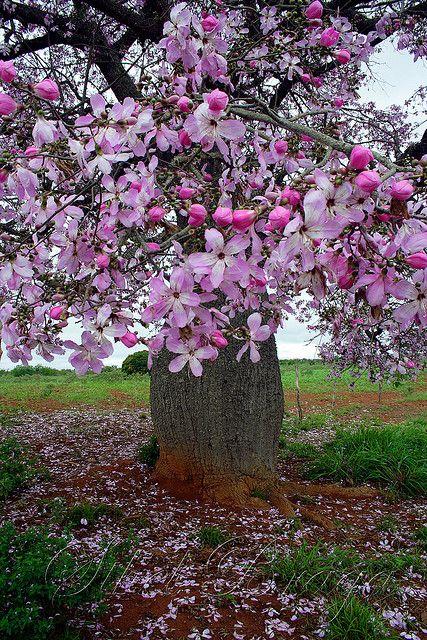 Arvore Florida Barriguda Flowering Trees Trees To Plant Tree