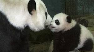 The Panda Cub Born at the National Zoo just Died - News - Bubblews