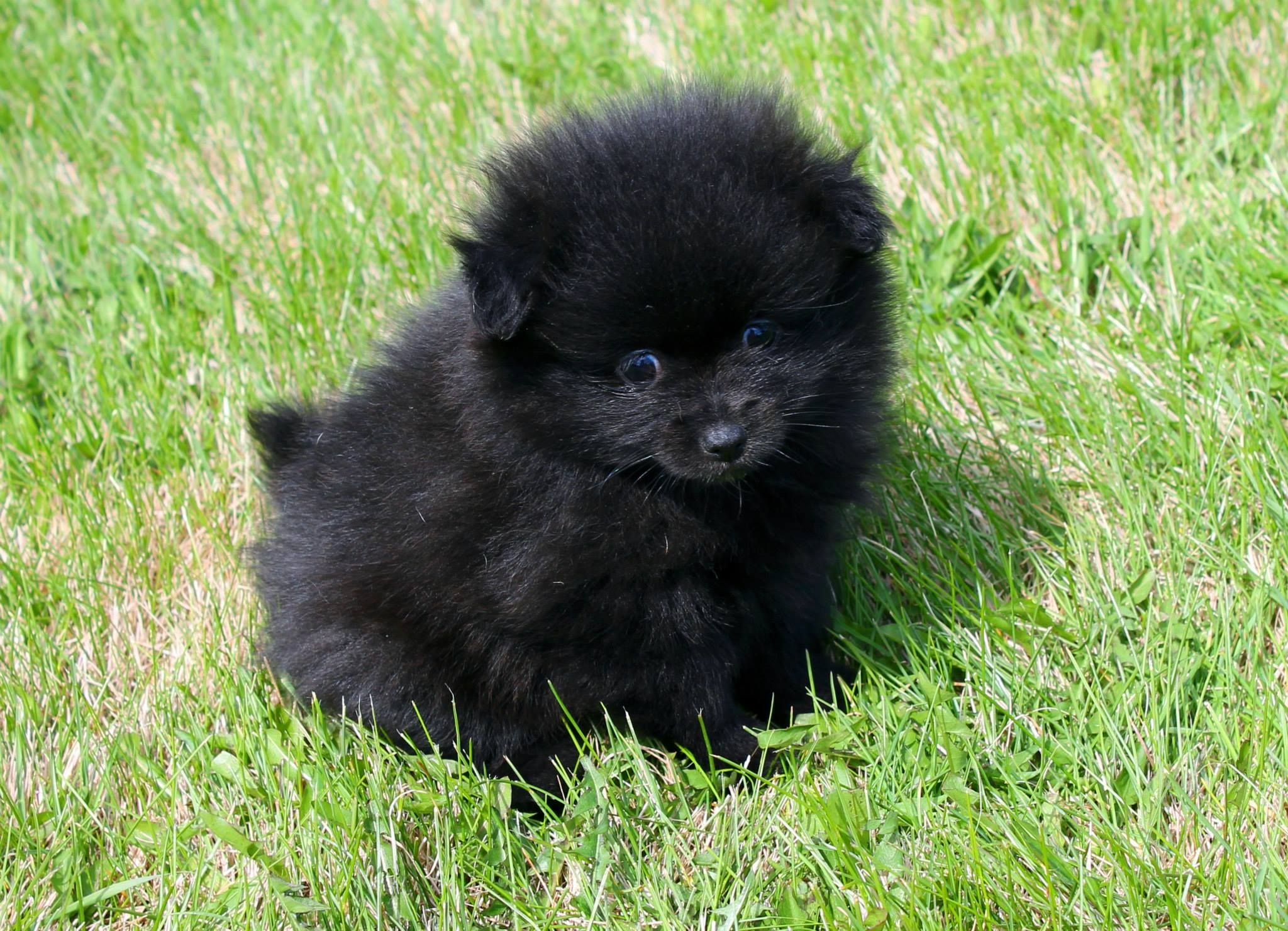 Black Female Pomeranian Puppy She Is Available Now