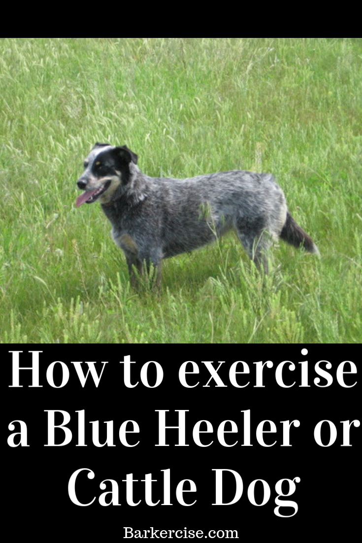 Exercise A Blue Heeler Or Cattle Dog