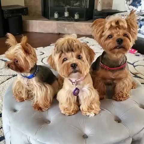#monkoodog #smartdog #pure_yorkie_love  #cutepuppy #beauty #dogiscutest #doglove   credit:@bell_timmy_and_babyaurora