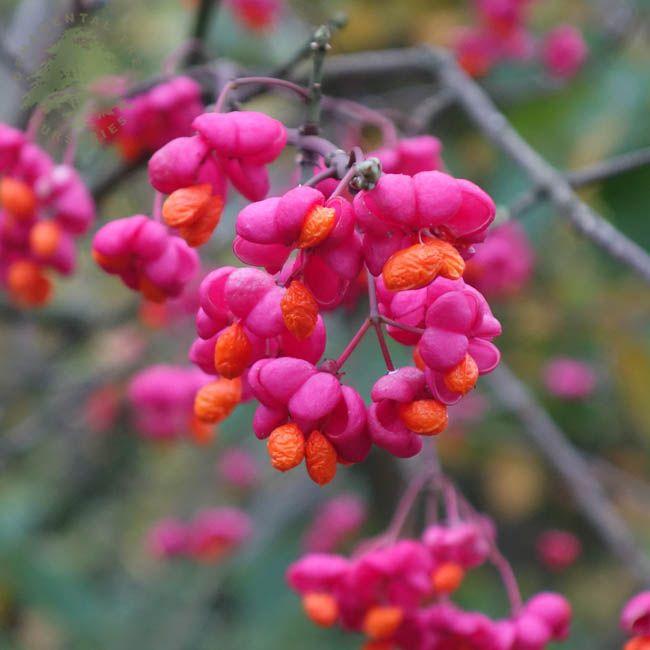 euonymus europaeus spindlerhs gardening
