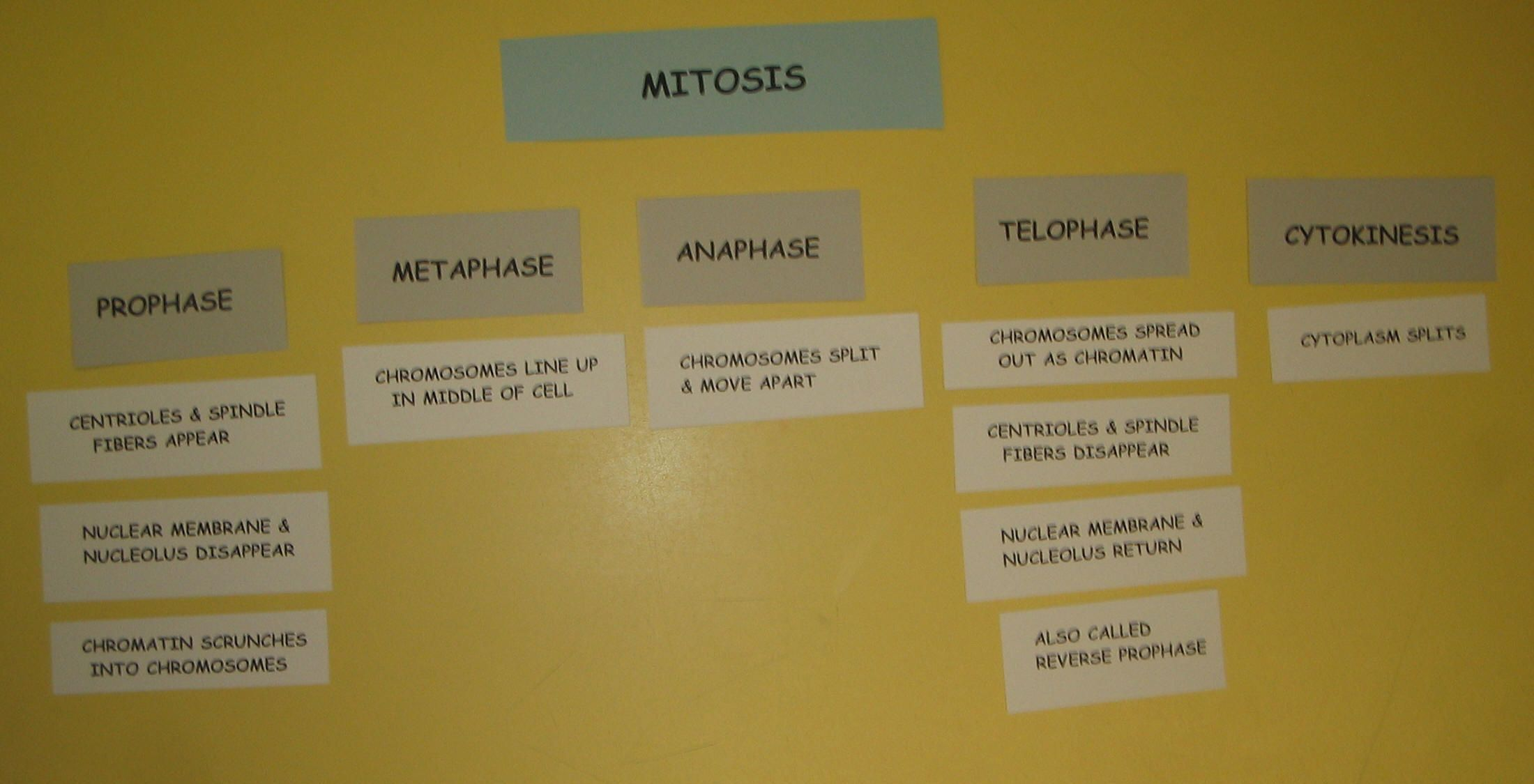 Descriptions For Mitosis Phases