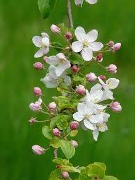 Image result for apple blossom flower