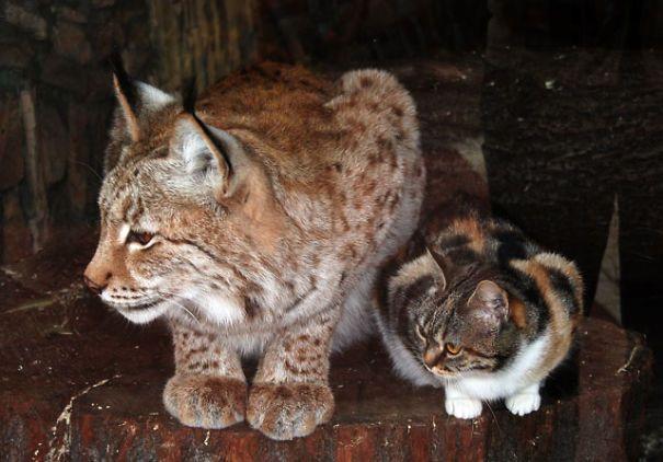 Il gatto randagio amico delle linci dello zoo - http://www.ahboh.it/gatto-amico-linci-zoo/
