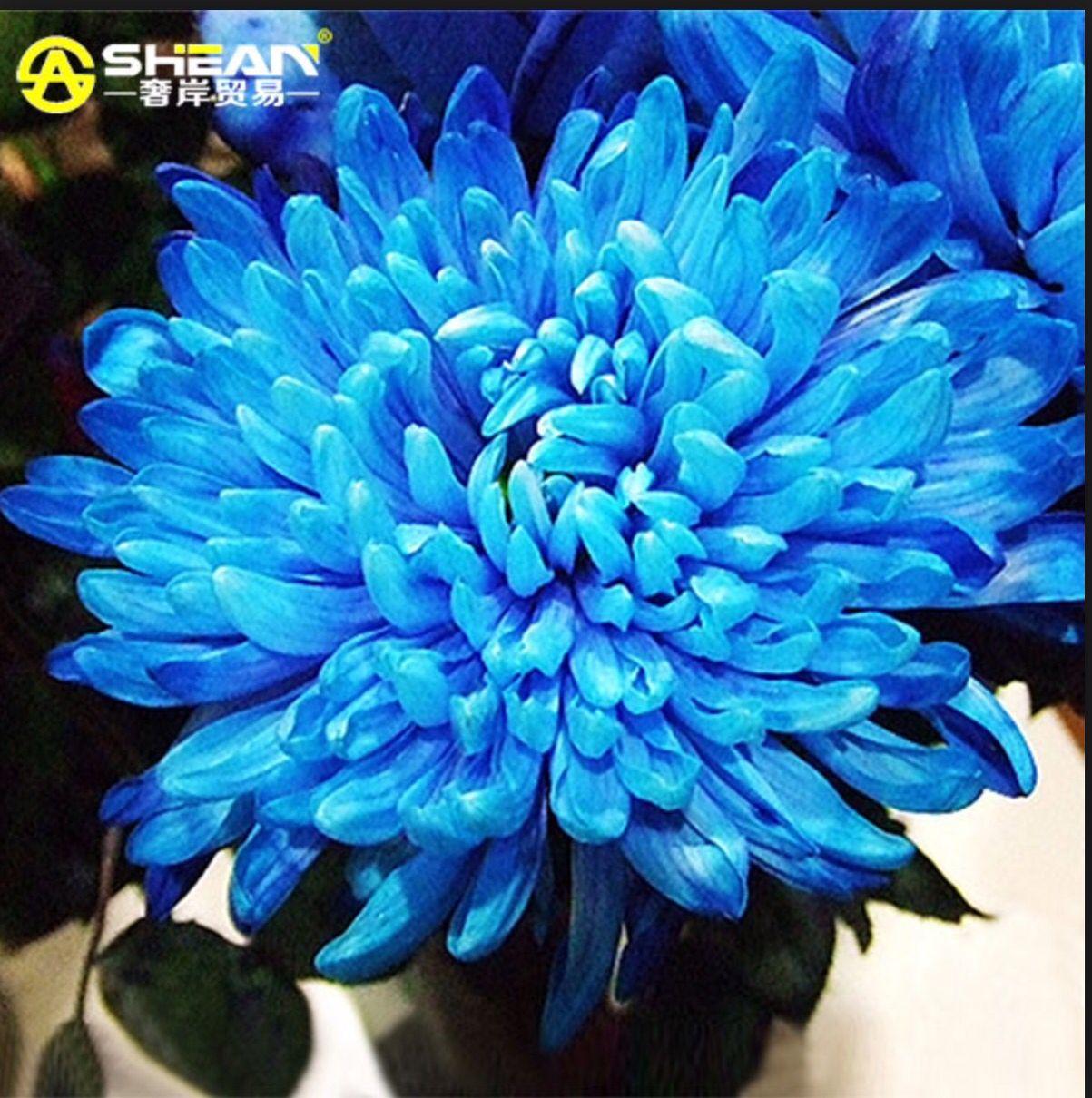 Blue daliah blue flowers pinterest blue flowers