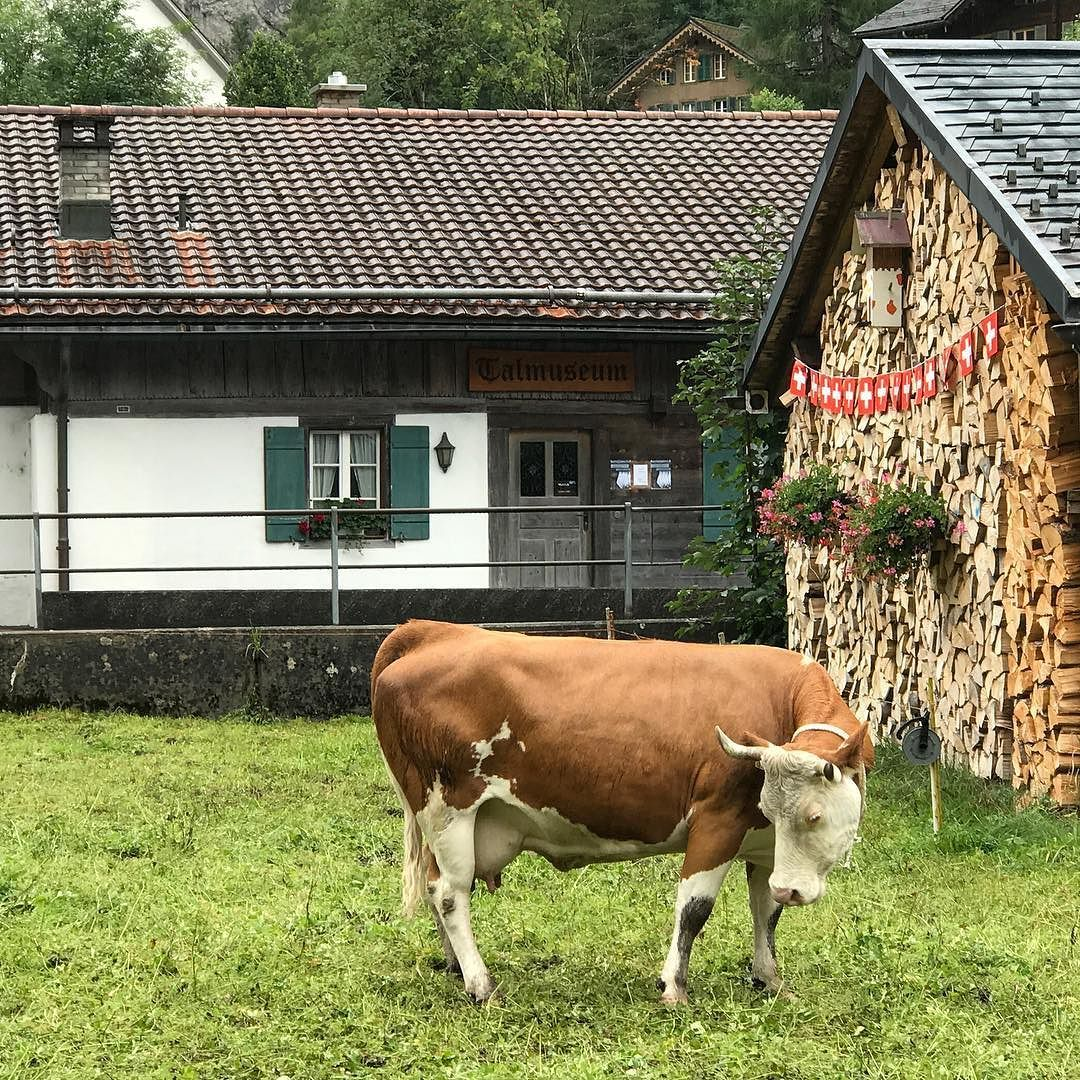 Happy Swiss cow in Lauterbrunnen! #happy #swiss #cow #in #lauterbrunnen #lauterbrunnenvalley #kuh #vache #muh @lauterbrunnen