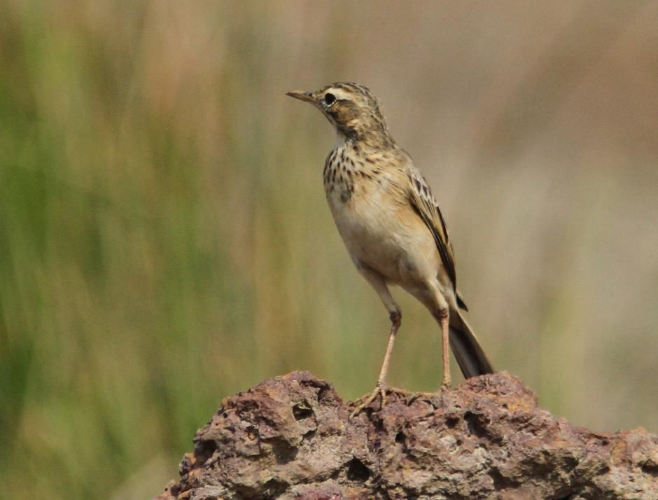 Paddyfield Pipit Anthus Rufulus Frontal View Of Bird Perched On Rock