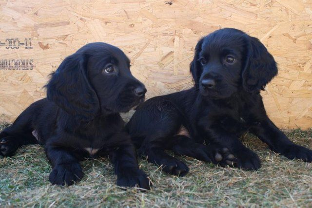 Wanted Working Cocker Spaniel Puppy 13th April Wanted In Cambridge Cambridgeshire Preloved Spaniel Puppies Black Dogs Breeds