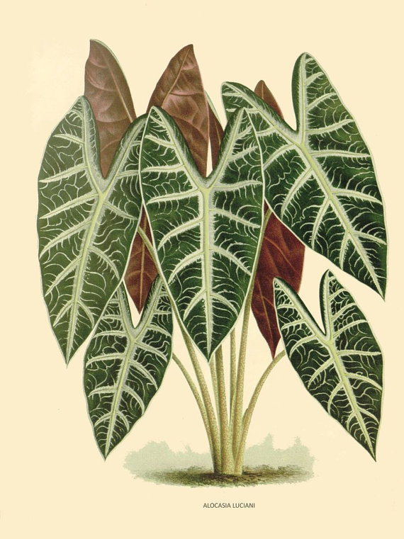antique french botanical print tropical green plant alocasia luciani illustration digital download