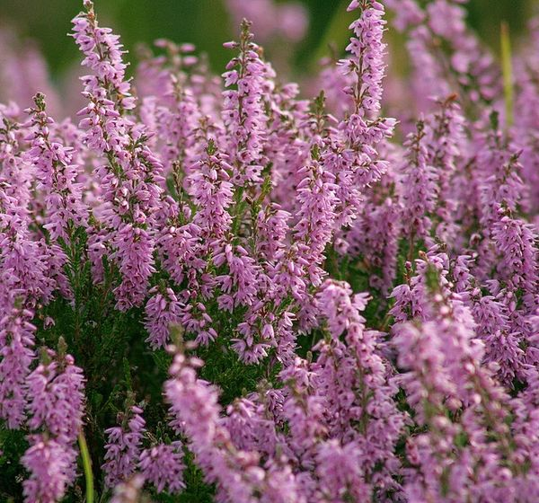 Heather Calluna Vulgaris Zone 4 Small Shrub Blooms In The Summer In Pink Or White Colors Heather Plant Scottish Heather Heather Flower