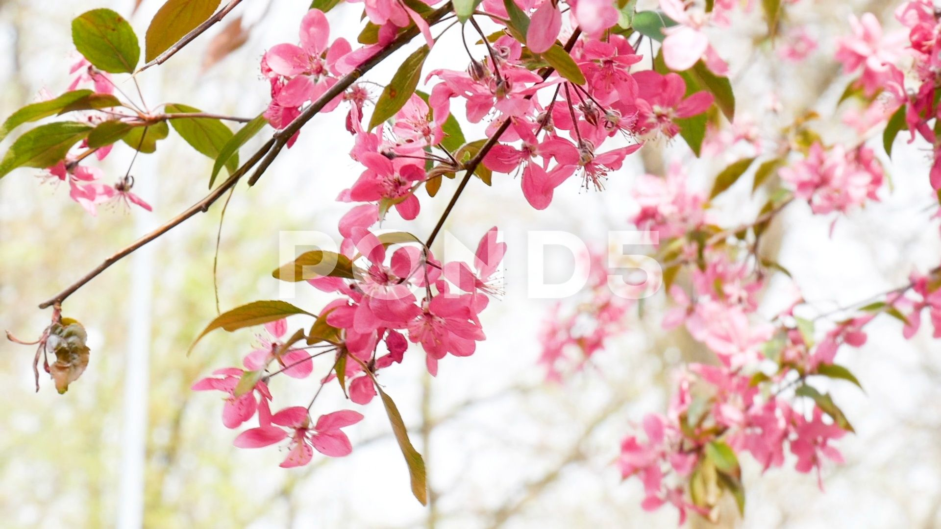 Crab Apple Branches Full Of Fuchsia Flowers Moving On Wind In