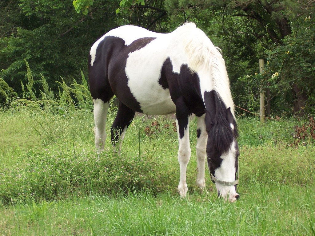 North Carolina State Horse Colonial Spanish Mustang