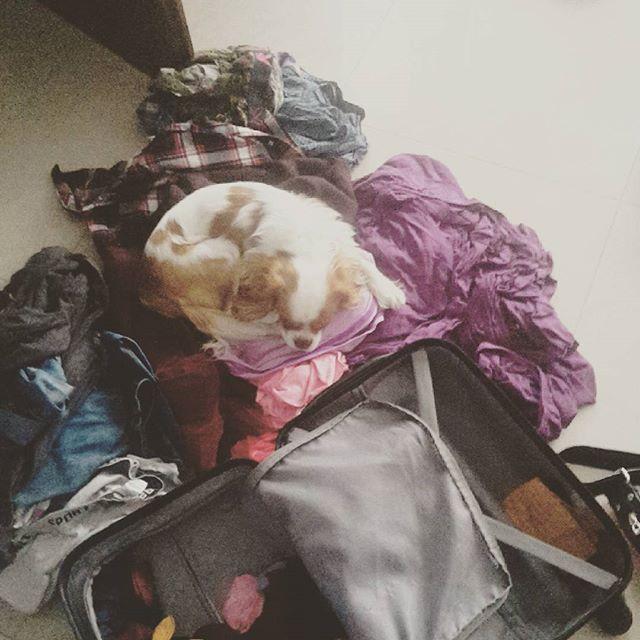 Helping mum with laundry. Find me!#magnetcavalier #magnet #weirddog #crazydog #sweetpuppy #cavalierstagram #kavalirek #kavalirkingcharlesspanel #cavalierkingcharlesspaniel #puppylove #laundry #lazysunday