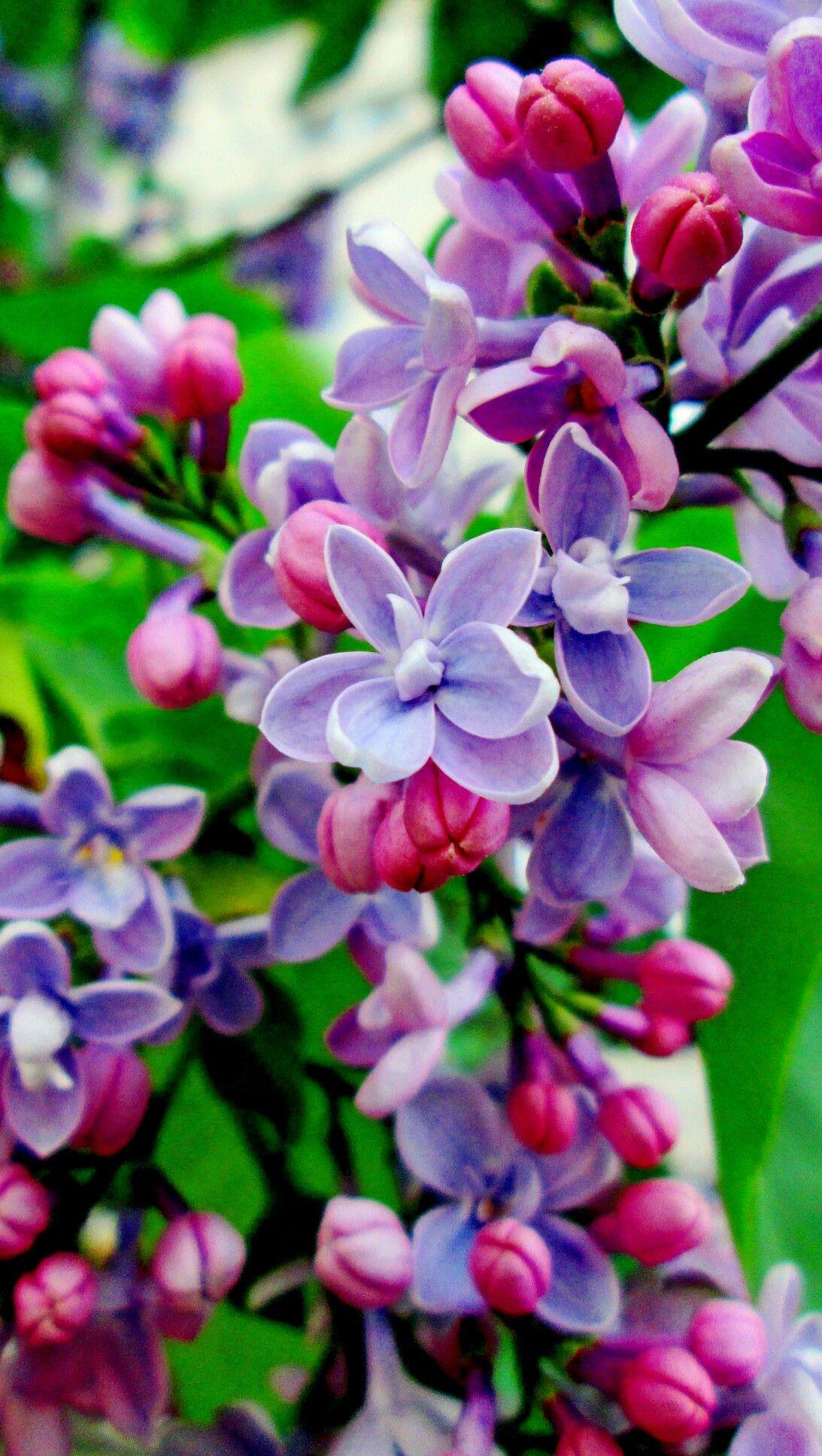 Hermosos Colres Para Hermosas Flores Beautiful Flowers Lilac Flowers Purple Flowers