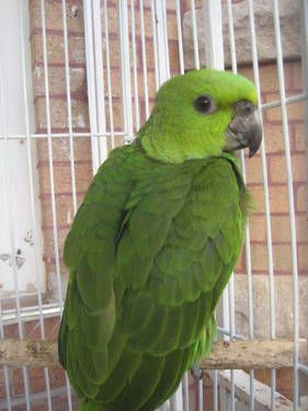 14000i Yellow Nape Amazon Parrot Babies For Sale 1 Jpeg Pets For