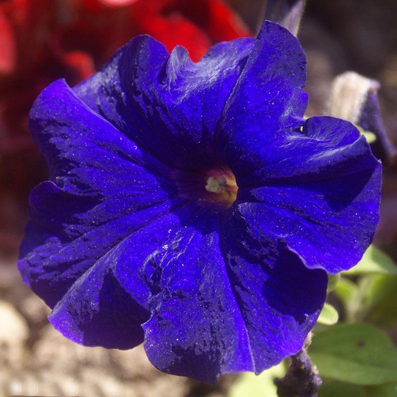 50 Pieces Blue Petunia Seeds Garden Home Bonsai Balcony Flower