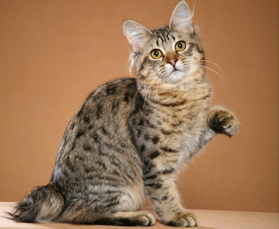 7 Facts About American Bobtail Cats You Have To Know | American ...