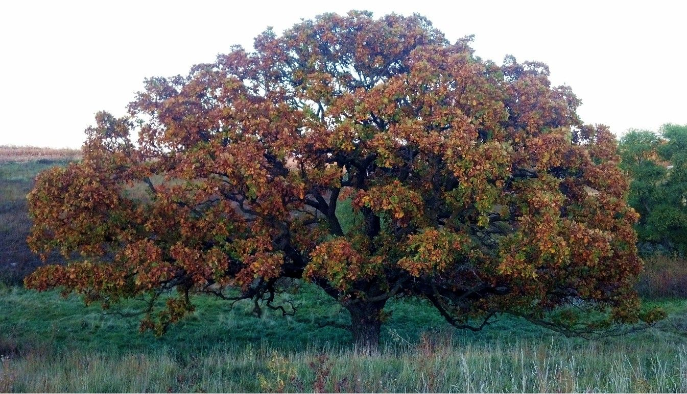 bur oak tree on my farm at least 100 years old attracts