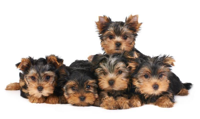 Teacup Yorkshire Terrier puppies nature Pinterest