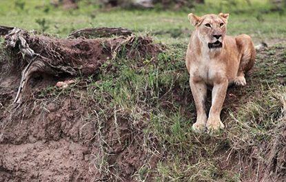 Leona salva a su cachorro de un acantilado - Un fotógrafo captó esta dramática escena en la queun cachorro de león pideayuda desde un acantilado. El rescate no tardó en llegar, con la madre poniendo su propia vida en riesgopara sosteneral pequeño antes de caer aún más. El amor maternal es algo hermoso sin duda, basta con ver las fotos d... #animales, #vive=Personas,animales,lavidaytodossussecuaces.  http://www.vivavive.com/leona-salva-su-cachorro-de-un-acan