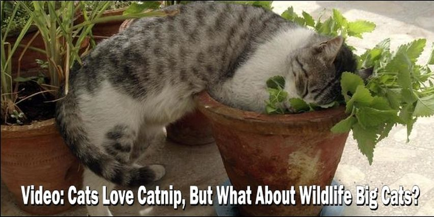 Why Do Cats Get High Off CatNip? Wildlife Cat