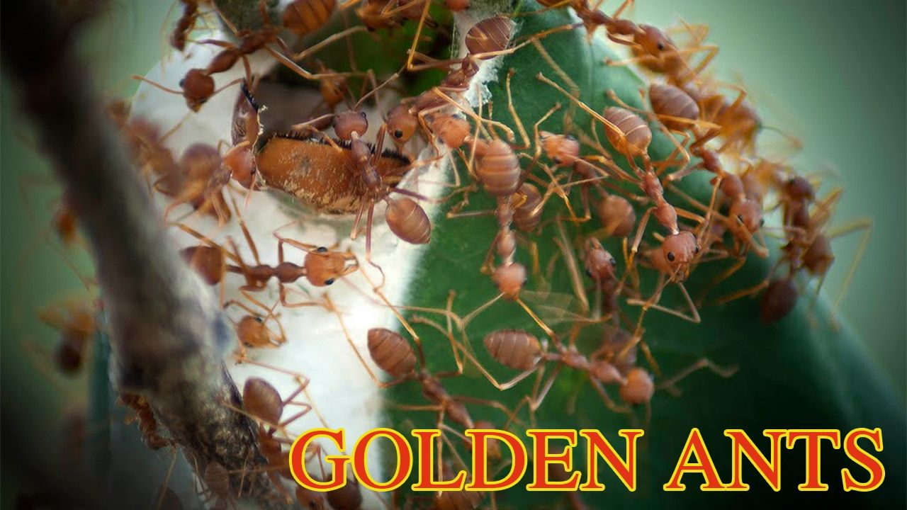 GODENT ANTS  | Catching And Eating GODEMT ANTS  With Minority Groups