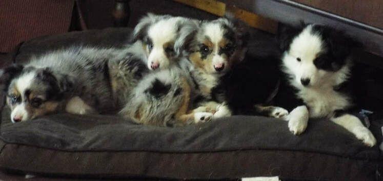 Mytoyaussie Com My Toy Aussie Com Toy Australian Shepherd Breeder In Michigan 231 215 8377 In 2020 Dog Breeding Business Dogs And Kids Australian Shepherd