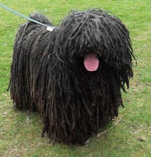 Picture Of Dog With Dreadlocks