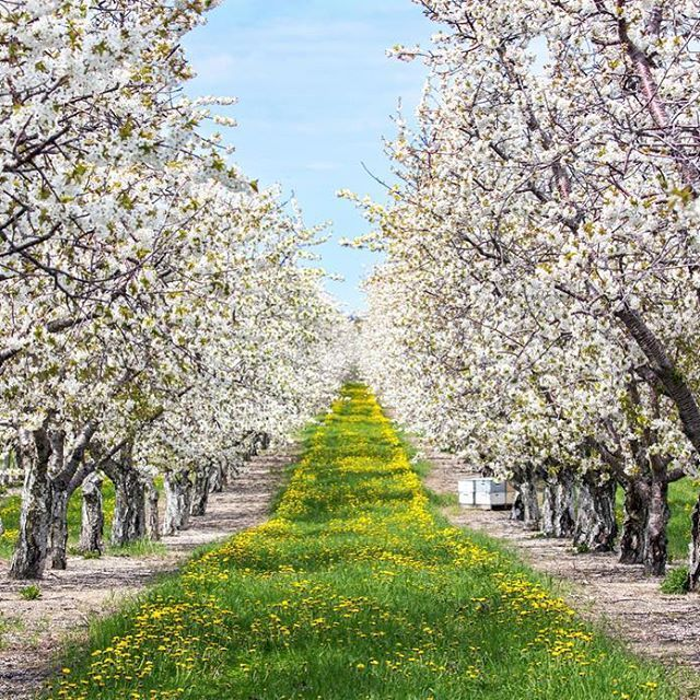 Grandtraverseliving The Bloom Is In Full Swing In Northern Michigan And The Bees In The Orchard Hives Are Bus Apple Tree Gardening Garden Trees Cherry Blooms