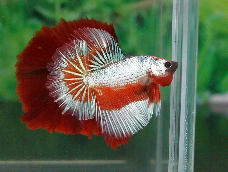 Tiger Dragon Half Moon Betta Fish Betta Fish Betta Betta Fish Tank