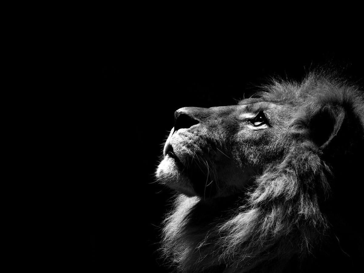 Lion Black Background Wallpaper 30954 Black And White Lion Lion Images Lion Pictures