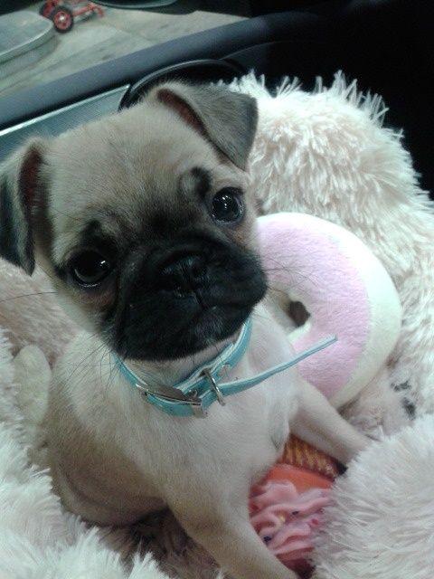 Baby Pug Baby Pugs Cute Pug Puppies Pug Puppies